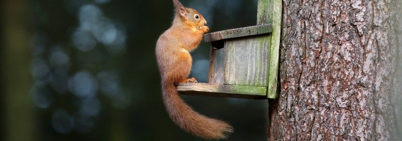 red-squirrel-perched-on-a-feeder-box-eating-nuts