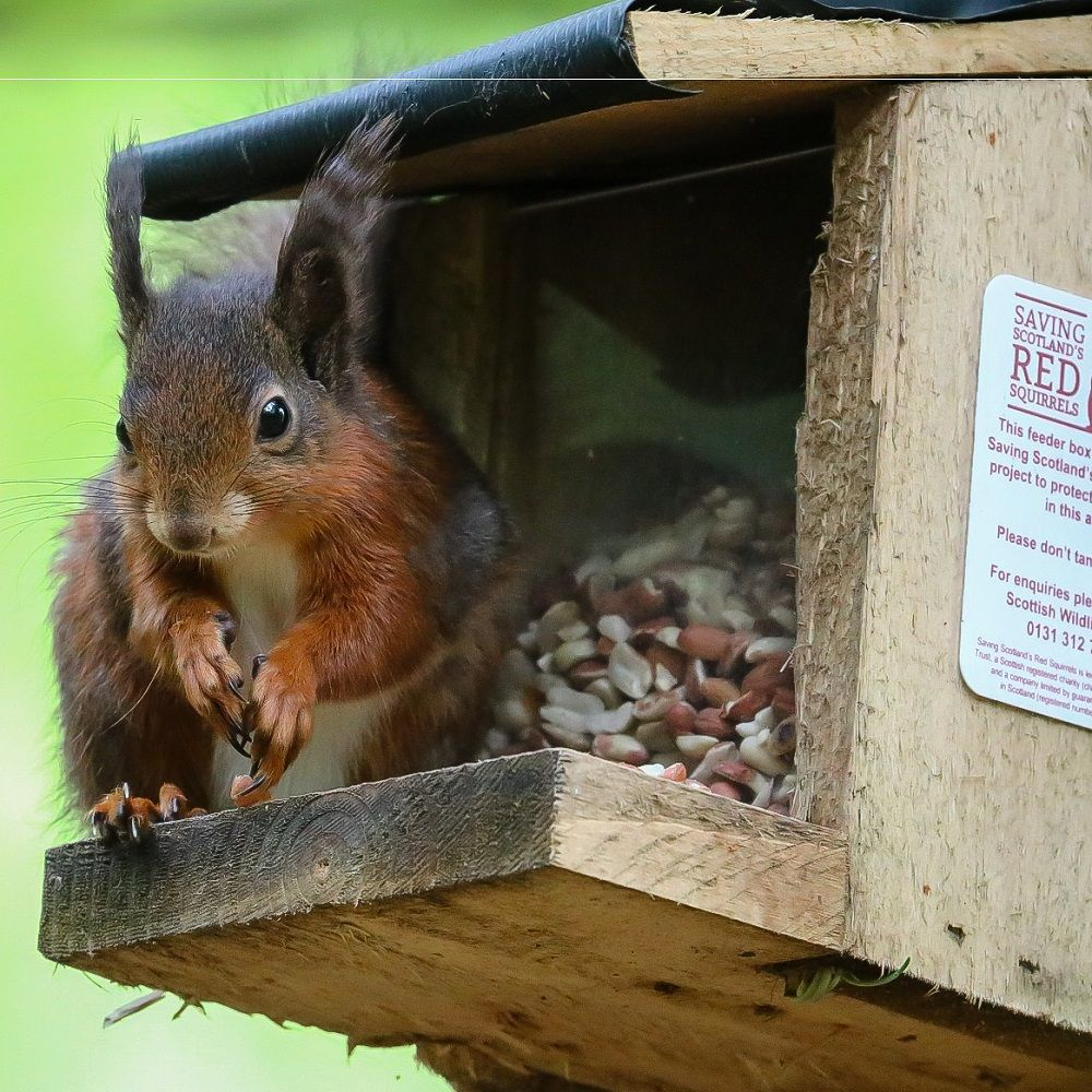 close-up-of-red-squirrel-at-a-feeder-box